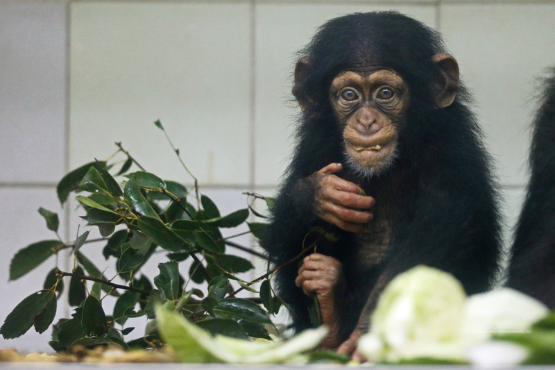 チンパンジーの赤ちゃんの夕食中