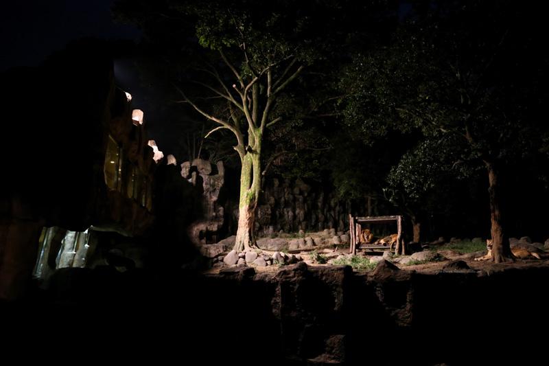 夜のライオン舎です。 (使用カメラ: Canon 1DX ・ ISO感度12800で撮影)