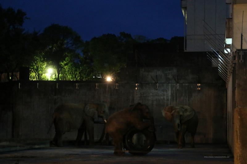 閉園前、夜のアフリカゾウさんです。(撮影カメラ機種名 Canon EOS 1DX レンズ EF24-70mm f/2.8L II USM ISO感度 12800)