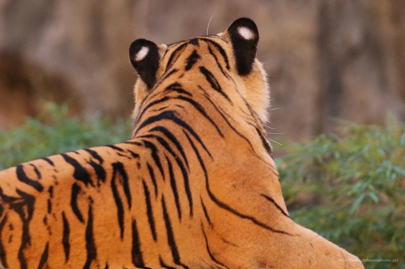 夜でも目立つトラさんの耳の後ろにある白黒模様は? (写真は、夜の動物園にて撮影)