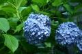 紫アジサイ_01