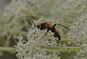 シラネニンジンと昆虫