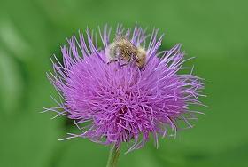 ノアザミ&ミツバチ