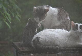 2016823シマシマシッポと仔猫