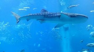 2016620美ら海水族館