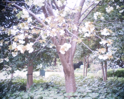 ウコン・皇居東御苑:R2