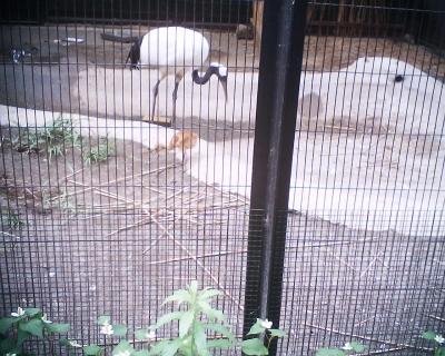 タンチョウの親子・井の頭自然文化園:R2