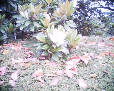 タイサンボクの花・皇居東御苑:R2