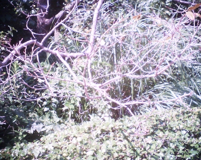 どこに咲いてる十月桜・皇居東御苑:R2