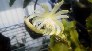 ミニドラゴンの花b