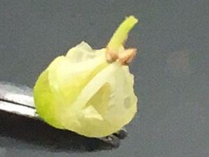 アビウの花(花びら除去)b