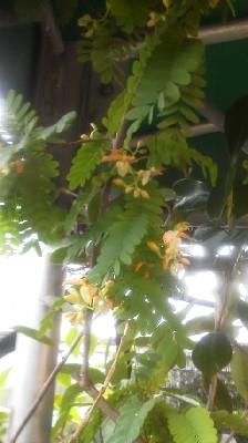 タマリンドの花bb