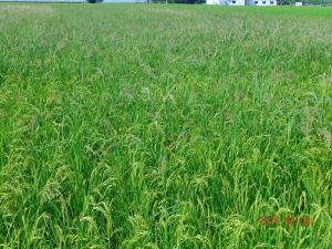 160809雑草の多い田んぼ