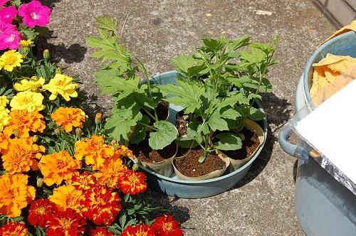 花壇 植え替え ゴウヤ 02