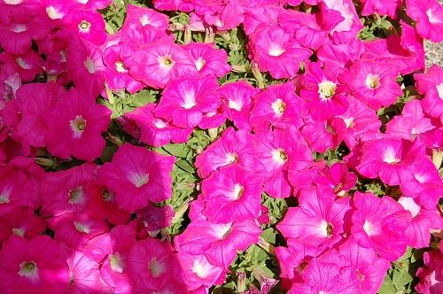 花壇 植え替え06