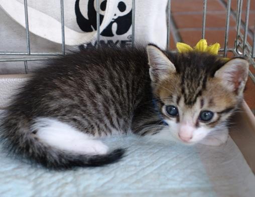 DSC04643 キジシマ子猫