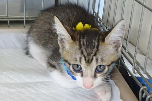 DSC06745 キジシマ子猫