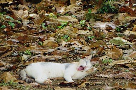 あくび猫b DSC09000