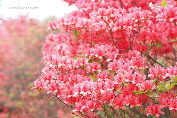 オンツツジの花