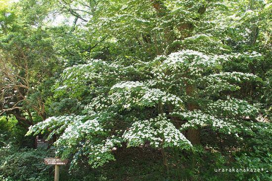 神戸市立森林植物園 大きなヤマボウシの木