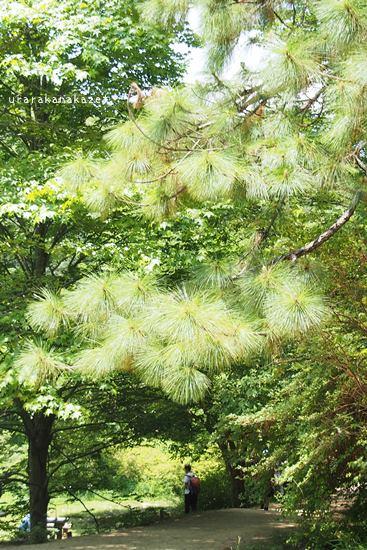 神戸市森林植物園 北アメリカ区大王松(ダイオウショウ)