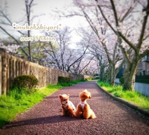 2016sakura3n_s.jpg
