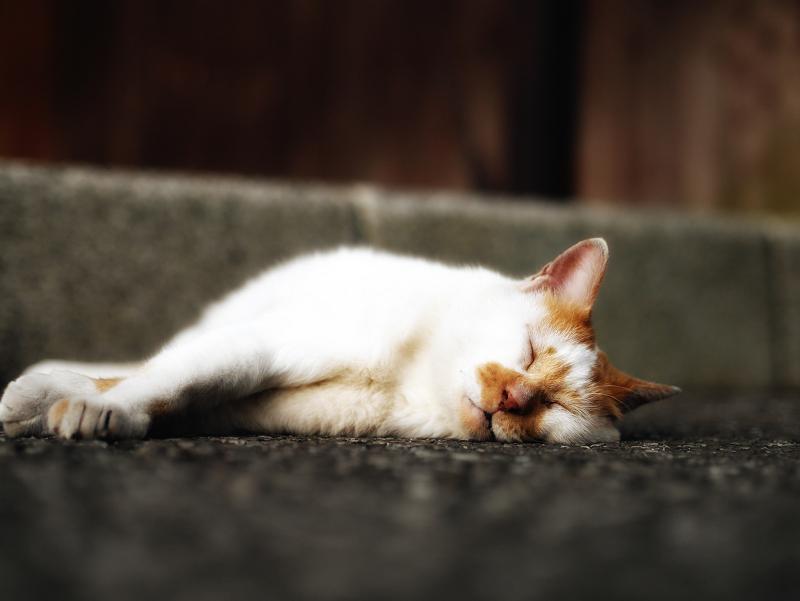 夏の夕日を浴びて寝てる茶白猫