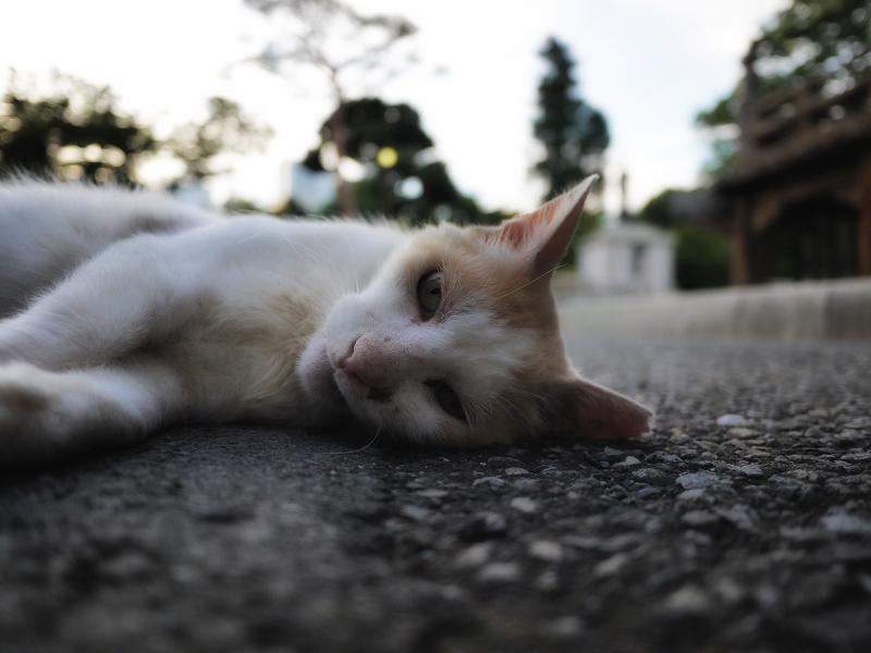 夏の夕方に日影で寝ている白茶猫