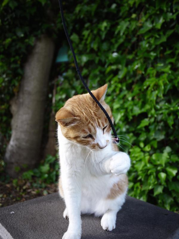 石碑の前の豪快な欠伸の黒白猫2