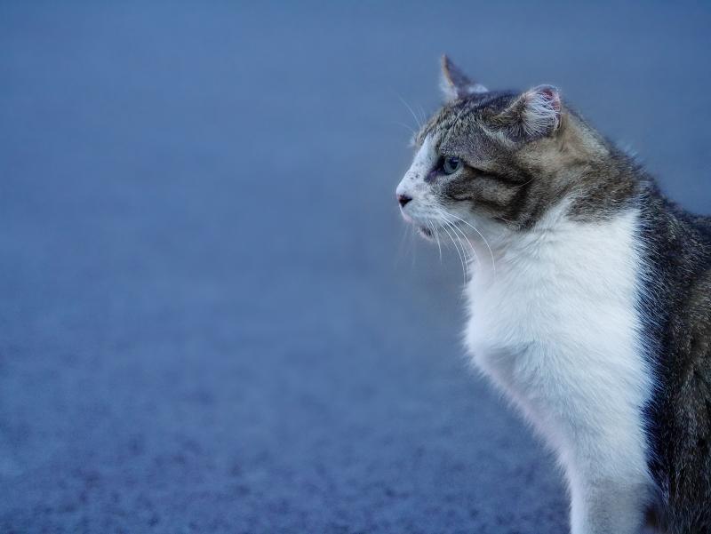 色温度が高いキジ白猫