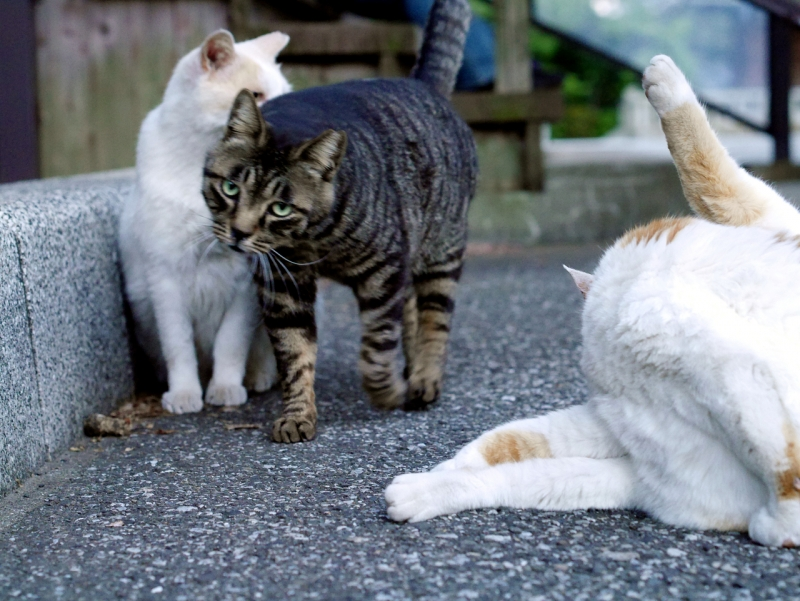 姉弟の猫とキジトラ猫