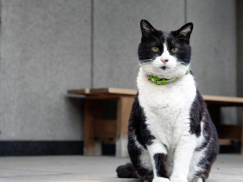 モデル立ちの黒白猫