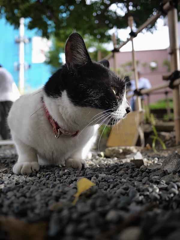 玉砂利で睨み顔の白黒猫1