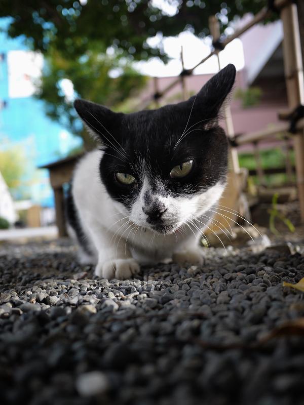 玉砂利で睨み顔の白黒猫2