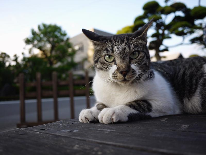 ベンチ上で表情を変えるキジ白猫1