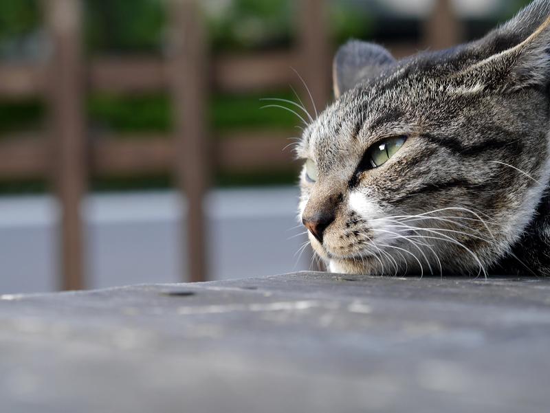 ベンチ上で表情を変えるキジ白猫4