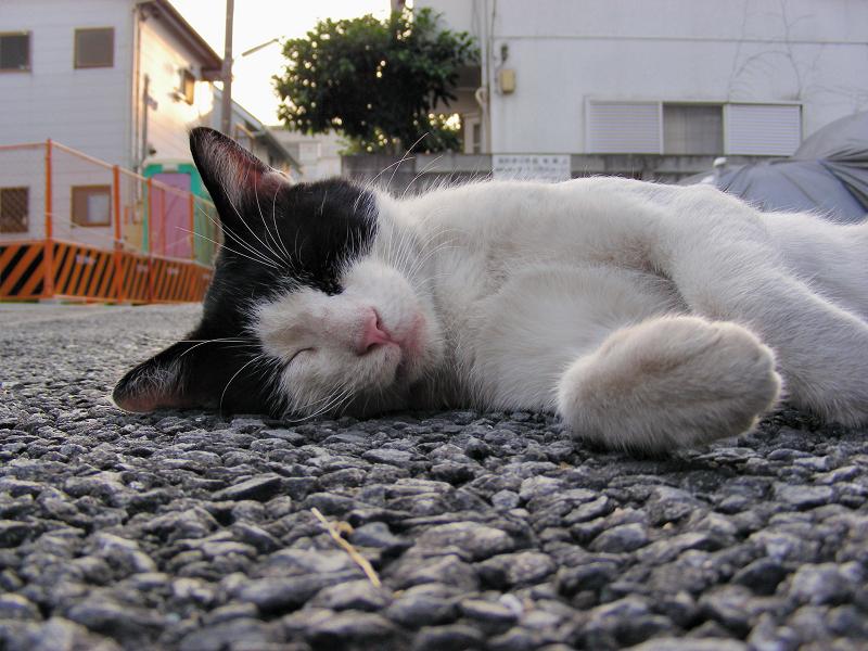 駐車場で転がってる黒白猫1