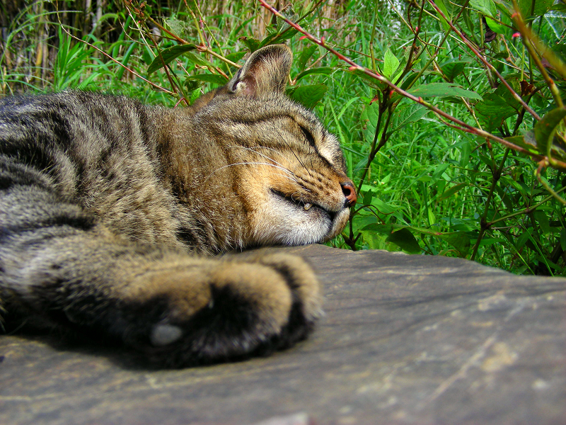 岩の上で牙を出して寝てるキジトラ猫1
