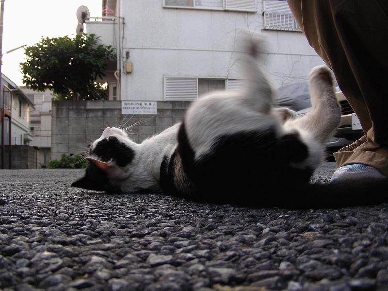 駐車場で転がってる黒白猫2