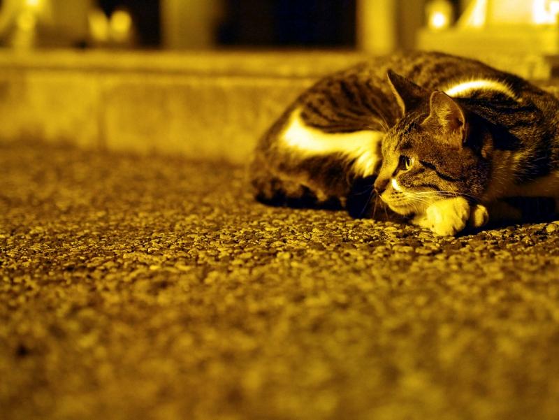 夕暮にコンクリで寛いでるキジ白猫1