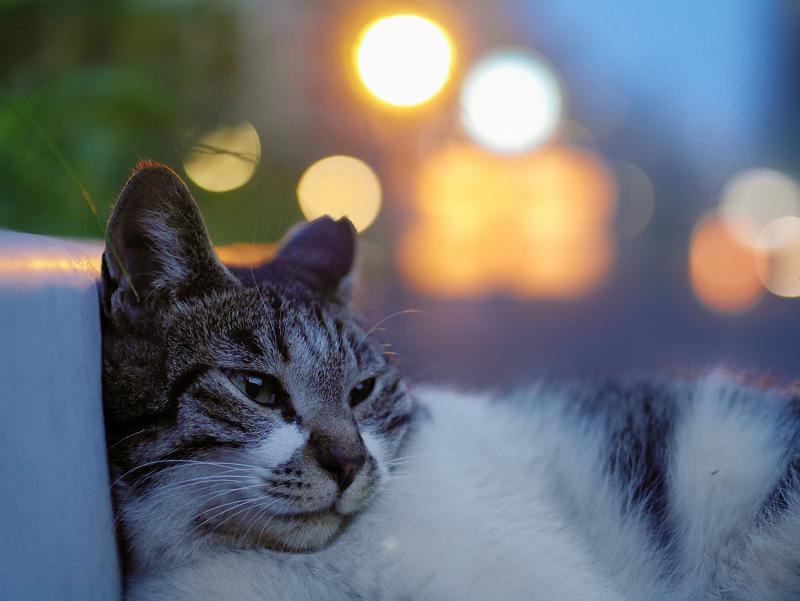 夏の夕暮れに外灯の明かり包まれたキジ白猫