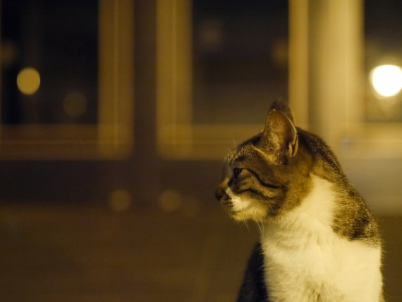 ガラスドアの前のキジ白猫