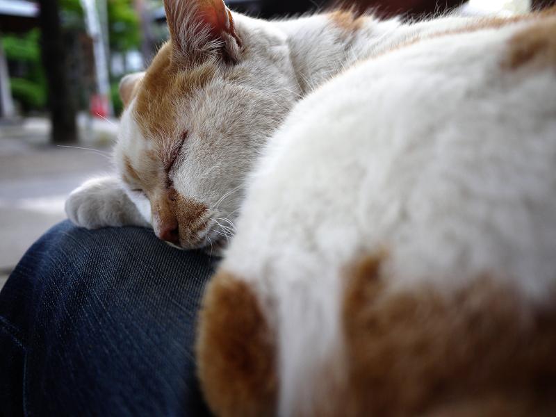 膝に乗って寝ている茶白猫