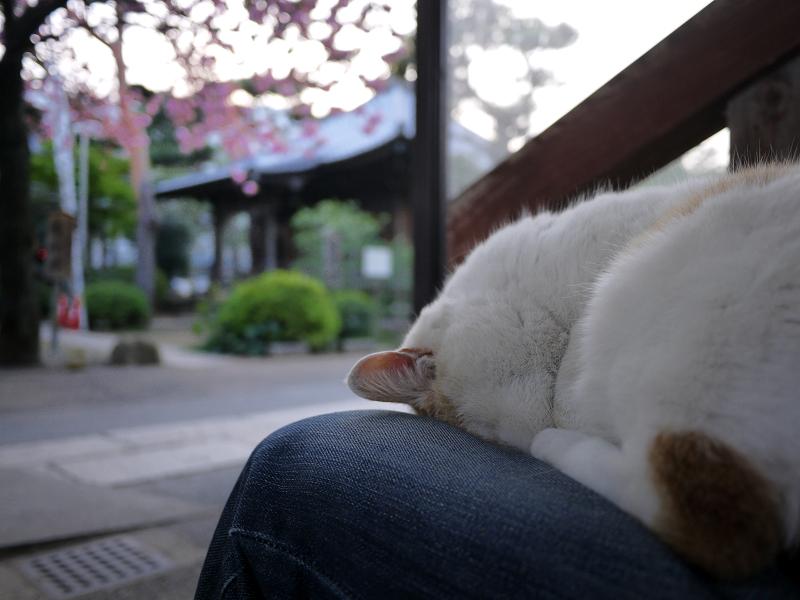 春の夕暮れに膝の上で寝てる猫