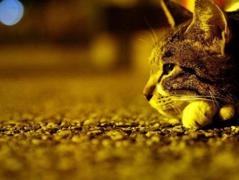 夕暮にコンクリで寛いでるキジ白猫2