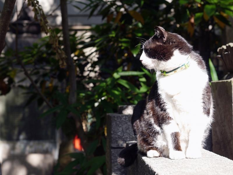 ジーっと真剣な眼差しで見てる黒白猫1