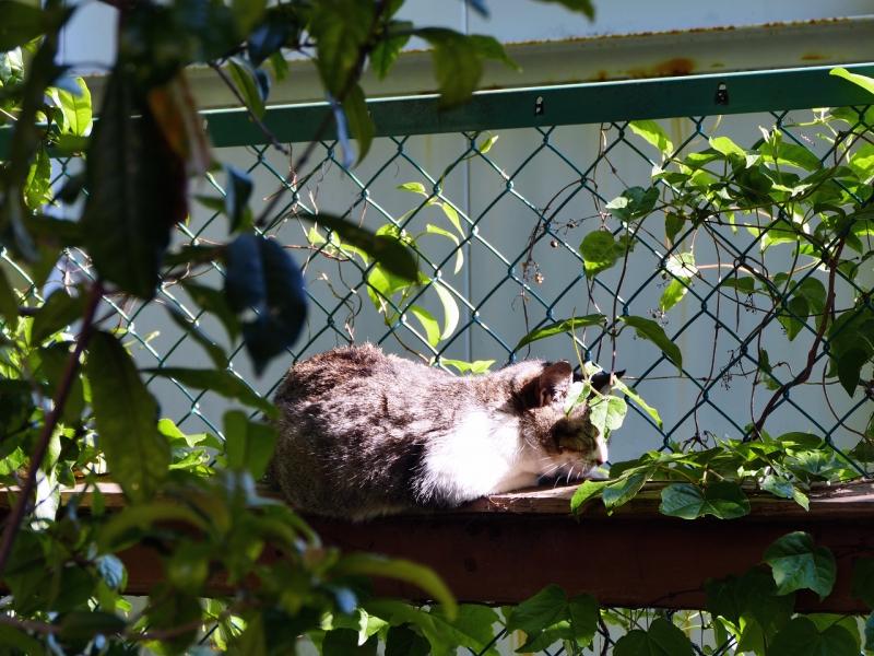 日差しの中で微睡んでるキジ白猫1