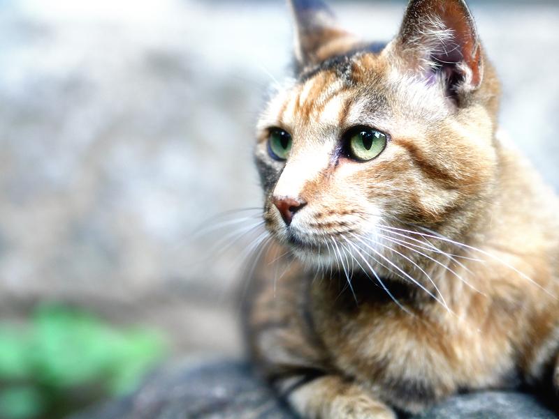 瞳が綺麗なサビ柄猫のソフトフォーカス