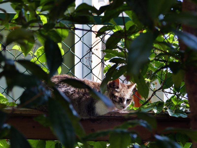 日差しの中で微睡んでるキジ白猫2
