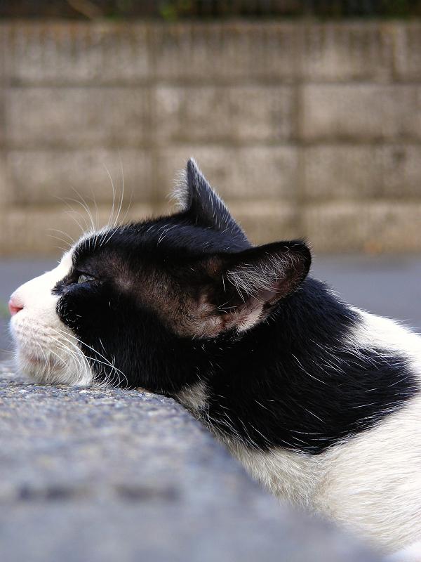 駐車場の縁にアゴを乗せちゃった黒白猫2